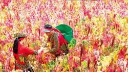 排灣族》穿上傳統服飾 紫紅垂穗伴你拍美照