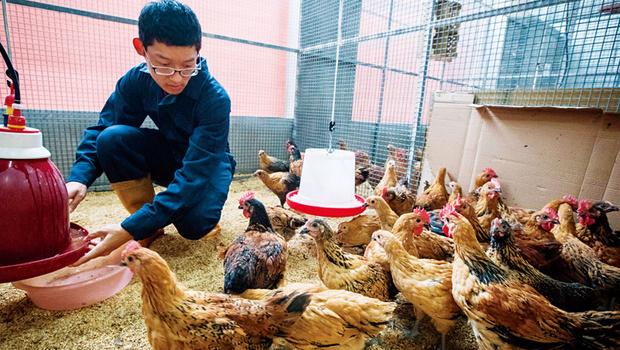學界聯手山地部落,保住古老台灣雞DNA