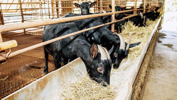深入黑山羊復育基地,見證全台唯一肉羊復活