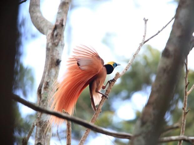 極樂鳥之鄉─巴布亞紐幾內亞