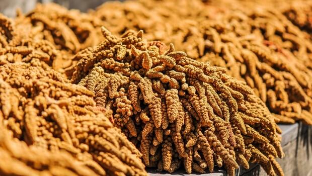 小米—最神聖的主食作物